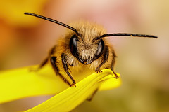Red M<ason Bee IV (Dalantech) Tags: macro macrophilia macrophotography insect bee masonbee pollen flower nature topaz
