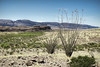 Ocotillo (Scott Sanford Photography) Tags: 6d bigbend camping canon ef2470f28l eos nature outdoor springbreak terlingua texas topazlabs desert roadtrip travel trip