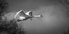 Mute Swan (DP the snapper) Tags: flickposs birds wildlife muteswan monochrome chelmarsh