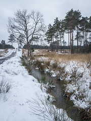 Swinley Forest (markhortonphotography) Tags: heathland spring pine markhortonphotography heath snow pond surrey tree thatmacroguy bagshot surreyheath winter silverbirch cold purplemoorgrass swinleyforest frozen