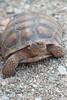 The Elusive Desert Tortoise. (LisaDiazPhotos) Tags: lisadiazphotos living desert palm wildlife the elusive tortoise