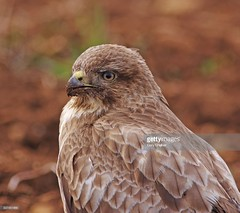 Common Buzzard (Gary Chalker, Thanks for over 3,000,000. views) Tags: bird birdofprey commonbuzzard buzzard pentax pentaxk3ii k3ii pentaxfa600mmf4edif fa600mmf4edif fa600mm 600mm