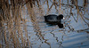 American Coot (Mule67) Tags: coot american bird fern hill wetland