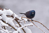 Common Grackle (dbifulco) Tags: cogr nature snowing birds commongrackle male newjersey snow wildlife winter