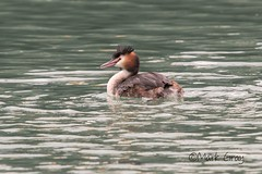 Great Crested Grebe 2 (Mark Gray Photos) Tags: great crested grebe