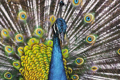 PAVONE    ----    PEACOCK (Ezio Donati is ) Tags: animali animals uccelli birds natura nature acqua water foresta forest laguna lagoon africa costadavorio lagunadiabidjanarea