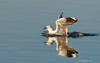 The Capture of a Shrimpy Thing 2 (The Gullet) Tags: silvergull seagull shrimp prey sploosh southaustralia morning goldenhour onkaparinga adelaide nikon d500 300mm