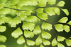 (Julia C. F) Tags: macro maidenhair green plant foliage greenery leaves fern