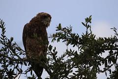 Snake Eagle-Mburo