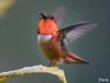Raindrops Keep Fallin' on My Head (Don's Photostream) Tags: allens hummingbird rain california raindrops fantasy