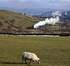 STEAMY SHEEP (fenaybridge) Tags: sheep worthvalley haworth damens 70013 olivercromwell britannia br steam bronte keighley kwvr