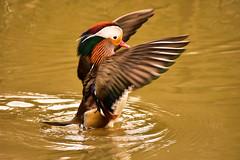 Mandarin Duck (Andrew-Jackson) Tags: birds ducks waterfowl bird wateranimal water animal