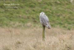 Snowy Owl (Bubo scandiacus) (George Wilkinson) Tags: snowy owl rspb snettisham buboscandiacus norfolk uk wildlife canon 7d mark ii mk