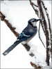 Bird-Sicle... (angelakanner) Tags: canonsx50 birds winter snow backyard