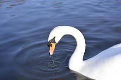 _DSC8215 (The Unofficial Photographer (CFB)) Tags: bushyparkroyalparks londonlife feathredfriends sunrise deardiarymar2018 swan swans featheredfriends