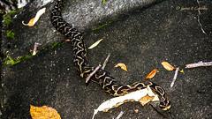 Snaking / Serpenteando (웃 JuareZeitgeist) Tags: snake cobra serpente venom serpent concreto natureza nature réptil reptile víbora