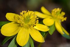 mellow yellow (ralfkai41) Tags: makro eranthishyemalis pflanzen garten flowers plants nature blossoms blüten winterlinge outdoor garden winteraconite natur blumen