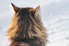Cat and snow (gill4kleuren - 16 ml views) Tags: pussy puss poes chat mieze katje gato gata gatto cat pet animal kitty kat pussycat poezen