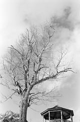 Winter Tree (Kevo89) Tags: film jch400 japancamerahunter streetpan400 bw blackwhite 35mm minolta muskoka gravenhurst lake frozen winter snow