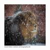 Schneelöwe / snow lion (H. Roebke) Tags: 2018 schnee de deutschland nature germany tier natur animal katze tierportrait zoohannover tierpark grosskatze snow zoo cats portrait basu löwe lion winter coth specanimal coth5