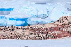 Antarctica-111124-946 (Kelly Cheng) Tags: antarcticpeninsula antarctica gentoopenguin pleneaubay pleneauisland animals color colorful colour colourful day daylight fauna horizontal iceberg landscape nature nopeople nobody outdoor penguins sea seacape sunny sunshine tourism travel traveldestinations vivid white