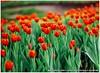 Pisker_Berlin_135F35-34720007 (猜猜 Guess TSAI) Tags: mamiya 645 pro pisker co berlin 135mm 135 picon v fuji rvp 100 13535 germany 中社花市 flower tulip