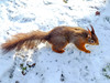 Tufty club (tubblesnap) Tags: liverpool merseyside formby crosby holiday red squirrel
