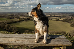 I'm Not Looking! (sharongellyroo) Tags: sussex ditchlingbeacon holidays ki bordercollie walkies inexplore