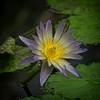 Water Magic (MrBlueSky*) Tags: lily waterlily flower plant petal water colour garden horticulture nature outdoor kewgardens royalbotanicgardens london pentax pentaxart pentaxlife pentaxk1 pentaxawards pentaxflickraward aficionados