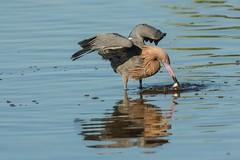 Got one (ChicagoBob46) Tags: reddishegret egret bird florida jndingdarlingnwr sanibel sanibelisland nature wildlife ngc coth5 npc