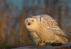 Snowy Owl in sunset light. (Estrada77) Tags: snowyowl nikond500200500mm wildlife march2018 outdoors raptors distinguishedraptors birdsofprey birding illinois owl