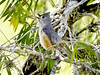 Tufted Titmouse (gilblankespoor) Tags: tuftedtitmouse parids territorialsinging coth coth5 birdperfect