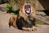 Caesar @ Artis 23-04-2017 (Maxime de Boer) Tags: caesar african lion afrikaanse leeuw panthera leo big cats katachtigen natura artis magistra zoo amsterdam animals dieren dierentuin gods creation schepping creator schepper genesis