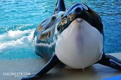 Keijo Face (GALINETTE1208) Tags: marineland antibes keijo orca killer whales orque mld 2018 nikon d5200 cute echouage marine mammal black white v