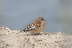 Linnet (Dougie Edmond) Tags: ayr scotland unitedkingdom gb ayrshire bird birds nature wildlife winter