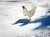 She was late to the Olympics (*CA*) Tags: ct winter chicken hen