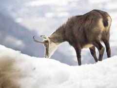 P3100170 (turbok) Tags: gipfel gämsen landschaft säugetiere tiere tressenstein wildtiere c kurt krimberger