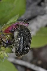 Kanarischer Behaarter Rosenkäfer - Tropinota squalida sub. canariensis, NGID1613878914 (naturgucker.de) Tags: ngid1613878914 naturguckerde tropinotasqualidasubspcanariensis 1038097865 1062798284 938872571 chorstschlüter