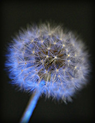 2018 Sydney: Dandelion (dominotic) Tags: 2018 dandelion bluelight dandelionseedhead bluetintedflower flower puffball circle sundaylights sydney australia