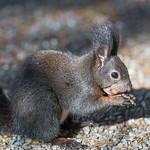 Black squirrel eating a nut thumbnail