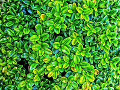 (GLKPhotos) Tags: buxus plant leaves horticulture green closeup foilage spring garden sunny uncropped shrub nature pot colour vibrant panasonic lumix gx8 tonalcontrast contrast yellow details bright bush stems growth blooming budding buds structure uniform golden