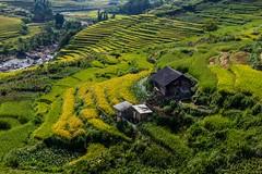 Chaloupka v zajetí rýže (zcesty) Tags: řeka vietnam26 terasa rýže pole krajina vietnam dosvěta làocai vn
