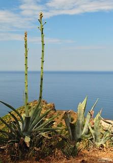 Les fleurs d'agave.