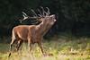 cerf-0044 (philph0t0) Tags: cervus elaphus cerf élaphe red deer stag rut brame animal mammifére mamal forêt arbre mammifère