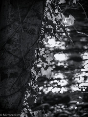 Twisted Ivy (Mirrored-Images) Tags: bokeh closeup depthoffield ivy leaves monochrome river scotland sparkle tree water