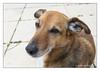"""Ms """"G"""" sweet curiosity... (Joao de Barros) Tags: joão barros dog animal portrait"""