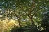 Summertime (Franco D´Albao) Tags: francodalbao dalbao nikond60 bosque wood árboles trees verano summer robles oaks hojas leaves frondosidad sombra shade