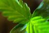 Autocultivo pequeña planta cannabis 18 (Cannabis y Salud) Tags: cannabismedicinal cannabisysalud crecimiento endocannabinologia growth pequeña planta small terapeuticacannabica argentina autocultivo bahiablanca marihuana marijuana plant bahíablanca buenosaires ar
