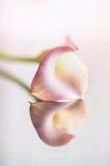 Calla reflection. Week 12 Macro (Sally Harmon Photography) Tags: yellow calla lily reflection macro green dogwood2018 pink flower abstract
