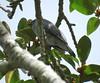 Coracina lineata lineata 4 (barryaceae) Tags: grassy head stewarts point kempsey nsw australia coracinalineatalineata australian barred cuckooshrike ausbird ausbirds